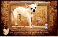 Andrew Bogut, Chihuahua, and Desperate: ADOPT  ME  legease  Darling little 9 year goung Chihuahua boy Brownig  waits for you to save his life at the Manhattan, NY 11CC.  Inquirg aboat him now before it is too late! **Adopter or Foster needed ASAP**  Darling little 9 year young Chihuahua boy Brownie waits for you to save his life at the Manhattan, NY ACC. Inquire about him now before it is too late!  ✔Pledge✔Tag✔Share✔Foster✔Adopt✔Save his life!  Brownie 34845 Small Mixed Breed: Chihuahua Sex male Neutered Yes Age 9 yrs (approx.) My health has been checked.  My vaccinations are up to date. My worming is up to date.  I have been micro-chipped.  I am waiting for you at the Manhattan, NY ACC. Please, Please, Please, save me!  ****************************************** To FOSTER or ADOPT, SPEAK UP NOW & Save a Life, Direct Adopt from the ACC Or Apply with rescues OR Message Must Love Dogs - Saving NYC Dogs for assistance!!! ******************************************  The general rule is to foster you have to be within 4 hours of the NYC ACC approved New Hope partner rescues you are applying with and to adopt you will have to be in the general NE US area; NY, NJ, CT, PA, DC, MD, DE, NH, RI, MA, VT & ME (some rescues will transport to VA). ✔Pledge✔Tag✔Share✔Foster✔Adopt✔Save a life! Thank you for caring! ================================= ... NOTE: *** WE HAVE NO OTHER INFORMATION THAN WHAT IS LISTED WITH THIS FLYER *** ... – please email Adoption@NYCACC.org for additional info - SUBJECT Line: Enter animal ID number and the shelter location - Don't forget to add your email address and phone numbers where they can reach you to your email as well. ... ============ Shelter address ========== - Brooklyn Shelter: 2336 Linden Boulevard Brooklyn, NY 11208  - Manhattan Shelter: 326 East 110 St. New York, NY 10029  - Staten Island Shelter: 3139 Veterans Road West Staten Island, NY 10309  - Phone number (212) 788-4000 (automated only) Operating hours: Monday through Friday 12.00pm to
