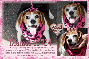 Animals, Desperate, and Dogs: Adopt  me  Pease n  PweNDeRR  Mamas 65724  .. a lovely, chubby wubby Beagle beauty, 7 yrs  young, a whopping 37 Ibs, waiting for your loving  arms at the Staten Island, NY ACC. Inquire about  her now before it is too late **FOSTER or ADOPTER NEEDED ASAP** Mamas 65724 ... a lovely, chubby wubby Beagle beauty, 7 yrs young, a whopping 37 lbs, waiting for your loving arms at the Staten Island, NY ACC. Inquire about her now before it is too late  ✔Pledge✔Tag✔Share✔FOSTER✔ADOPT✔Save a life!  VIDEO: https://www.facebook.com/sishelterdogs/videos/2330219707251119/  Mamas 65724 Small Mixed Breed Sex female Age 7 yrs (approx.) - 37 lbs  My health has been checked.  My vaccinations are up to date. My worming is up to date.  I have been micro-chipped.   I am waiting for you at the Staten Island, NY ACC. Please, Please, Please, save me!  **************************************** *** TO FOSTER OR ADOPT ***   If you would like to adopt a NYC ACC dog, and can get to the shelter in person to complete the adoption process, you can contact the shelter directly. We have provided the Brooklyn, Staten Island and Manhattan information below. Adoption hours at these facilities is Noon – 8:00 p.m. (6:30 on weekends)  If you CANNOT get to the shelter in person and you want to FOSTER OR ADOPT a NYC ACC Dog, you can PRIVATE MESSAGE our Must Love Dogs - Saving NYC Dogs page for assistance. PLEASE NOTE: You MUST live in NY, NJ, PA, CT, RI, DE, MD, MA, NH, VT, ME or Northern VA. You will need to fill out applications with a New Hope Rescue Partner to foster or adopt a NYC ACC dog. Transport is available if you live within the prescribed range of states.  Shelter contact information: Phone number (212) 788-4000 Email adopt@nycacc.org  Shelter Addresses: Brooklyn Shelter: 2336 Linden Boulevard Brooklyn, NY 11208 Manhattan Shelter: 326 East 110 St. New York, NY 10029 Staten Island Shelter: 3139 Veterans Road West Staten Island, NY 10309 ************************************** ... NOTE:  *** WE HAVE NO OTHER INFORMATION THAN WHAT IS LISTED WITH THIS FLYER *** ... RE: ACC site Just because a dog is not on the ACC site does NOT necessarily mean safe. There are many reasons for this like a hold or an eval has not been conducted yet or the dog is rescue-only... the list goes on... Please, do share & apply to foster/adopt these pups as well until their thread is updated with their most current status. TY! ****************************************** About Must Love Dogs - Saving NYC Dogs: We are a group of advocates (NOT a shelter NOR a rescue group) dedicated to finding loving homes for NYC dogs in desperate need. ALL the dogs on our site need Rescue, Fosters, or Adopters & that ASAP as they are in NYC high-kill shelters. If you cannot foster or adopt, please share them far & wide. Thank you for caring!! <3 ****************************************** RESCUES: * Indicates New Hope Rescue partner is accepting applications for fosters and/or adopters. http://www.nycacc.org/get-involved/new-hope/nhpartners ****************************************** https://www.nycacc.org/adopt/mamas-65724 ++++ http://nycaccpets.shelterbuddy.com/animal/animalDetails.asp?s=adoption&searchTypeId=4&animalType=3%2C16&datelostfoundmonth=6&datelostfoundday=12&datelostfoundyear=2019&tpage=8&find-submitbtn=Find+Animals&pagesize=16&task=view&searchType=4&animalid=99444 ++++ ++++ Beamer Maximillian Carolin Hocker Caro Hocker