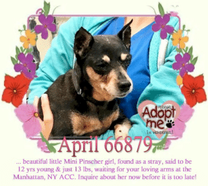 Animals, Beautiful, and Desperate: Adopt  me  PLeaser  IM WONDERFL!  April 66879  ..beautiful little Mini Pinscher girl, found as a stray, said to be  12 yrs young & just 13 lbs, waiting for your loving arms at the  Manhattan, NY ACC. Inquire about her now before it is too late! **FOSTER or ADOPTER NEEDED ASAP** April 66879 ... beautiful little Mini Pinscher girl, found as a stray, said to be 12 yrs young & just 13 lbs, waiting for your loving arms at the Manhattan, NY ACC. Inquire about her now before it is too late!  ✔Pledge✔Tag✔Share✔FOSTER✔ADOPT✔Save a life!  April 66879 Small Mixed Breed Sex female Age 12 yrs (approx.) - 13 lbs  My health has been checked.  My vaccinations are up to date. My worming is up to date.  I have been micro-chipped.   I am waiting for you at the Manhattan, NY  ACC. Please, Please, Please, save me!  Found Location Brooklyn Avenue BROOKLYN, 11210 Date Found 6/23/20199  **************************************** *** TO FOSTER OR ADOPT ***   If you would like to adopt a NYC ACC dog, and can get to the shelter in person to complete the adoption process, you can contact the shelter directly. We have provided the Brooklyn, Staten Island and Manhattan information below. Adoption hours at these facilities is Noon – 8:00 p.m. (6:30 on weekends)  If you CANNOT get to the shelter in person and you want to FOSTER OR ADOPT a NYC ACC Dog, you can PRIVATE MESSAGE our Must Love Dogs - Saving NYC Dogs page for assistance. PLEASE NOTE: You MUST live in NY, NJ, PA, CT, RI, DE, MD, MA, NH, VT, ME or Northern VA. You will need to fill out applications with a New Hope Rescue Partner to foster or adopt a NYC ACC dog. Transport is available if you live within the prescribed range of states.  Shelter contact information: Phone number (212) 788-4000 Email adopt@nycacc.org  Shelter Addresses: Brooklyn Shelter: 2336 Linden Boulevard Brooklyn, NY 11208 Manhattan Shelter: 326 East 110 St. New York, NY 10029 Staten Island Shelter: 3139 Veterans Road West Staten Island, NY 10309 **************************************  NOTE:  WE HAVE NO OTHER INFORMATION THAN WHAT IS LISTED WITH THIS FLYER.  ************************************** RE: ACC site Just because a dog is not on the ACC site does NOT necessarily mean safe. There are many reasons for this like a hold or an eval has not been conducted yet or the dog is rescue-only... the list goes on... Please, do share & apply to foster/adopt these pups as well until their thread is updated with their most current status. TY! ****************************************** About Must Love Dogs - Saving NYC Dogs: We are a group of advocates (NOT a shelter NOR a rescue group) dedicated to finding loving homes for NYC dogs in desperate need. ALL the dogs on our site need Rescue, Fosters, or Adopters & that ASAP as they are in NYC high-kill shelters. If you cannot foster or adopt, please share them far & wide. Thank you for caring!! <3 ****************************************** RESCUES: * Indicates New Hope Rescue partner is accepting applications for fosters and/or adopters. http://www.nycacc.org/get-involved/new-hope/nhpartners ****************************************** https://www.nycacc.org/adopt/april-66879 ++++ http://nycaccpets.shelterbuddy.com/animal/animalDetails.asp?s=adoption&searchTypeId=4&animalType=3%2C16&datelostfoundmonth=6&datelostfoundday=23&datelostfoundyear=2019&tpage=8&find-submitbtn=Find+Animals&pagesize=16&task=view&searchType=4&animalid=100174 ++++ https://nycaccpets.shelterbuddy.com/animal/animalDetails.asp?task=search&s=found&animalType=3%2C16&datelostfoundmonth=9&datelostfoundday=5&datelostfoundyear=2017&tpage=1&submitbtn=Find+Animals&searchType=2&animalid=100174 Beamer Maximillian Carolin Hocker Caro Hocker Leah Pekarsky Imps Nj-Pa IMPS New York