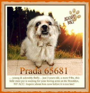 Animals, Desperate, and Dogs: ADOPT  ME!  Prada 65681  young & adorably fluffy... just 3 years old, a mere 9 lbs, this  little cutie pie is waiting for your loving arms at the Brooklyn,  NY ACC. Inquire about him now before it is too late! **FOSTER or ADOPTER NEEDED ASAP** Prada 65681... young & adorably fluffy... just 3 years old, a mere 9 lbs, this little cutie pie is waiting for your loving arms at the Brooklyn, NY ACC. Inquire about him now before it is too late!   ✔Pledge✔Tag✔Share✔FOSTER✔ADOPT✔Save a life!  Prada 65681 Small Mixed Breed Sex male Age 3 yrs (approx.) - 9 lbs  My health has been checked.  My vaccinations are up to date. My worming is up to date.  I have been micro-chipped.   I am waiting for you at the Brooklyn, NY ACC. Please, Please, Please, save me!  Found Location  181 Street Grand Concourse roaming around this area BRONX, 10463 Date Found 6/11/2019  **************************************** *** TO FOSTER OR ADOPT ***   If you would like to adopt a NYC ACC dog, and can get to the shelter in person to complete the adoption process, you can contact the shelter directly. We have provided the Brooklyn, Staten Island and Manhattan information below. Adoption hours at these facilities is Noon – 8:00 p.m. (6:30 on weekends)  If you CANNOT get to the shelter in person and you want to FOSTER OR ADOPT a NYC ACC Dog, you can PRIVATE MESSAGE our Must Love Dogs - Saving NYC Dogs page for assistance. PLEASE NOTE: You MUST live in NY, NJ, PA, CT, RI, DE, MD, MA, NH, VT, ME or Northern VA. You will need to fill out applications with a New Hope Rescue Partner to foster or adopt a NYC ACC dog. Transport is available if you live within the prescribed range of states.  Shelter contact information: Phone number (212) 788-4000 Email adopt@nycacc.org  Shelter Addresses: Brooklyn Shelter: 2336 Linden Boulevard Brooklyn, NY 11208 Manhattan Shelter: 326 East 110 St. New York, NY 10029 Staten Island Shelter: 3139 Veterans Road West Staten Island, NY 10309 ************************************** ... NOTE:  *** WE HAVE NO OTHER INFORMATION THAN WHAT IS LISTED WITH THIS FLYER *** ... RE: ACC site Just because a dog is not on the ACC site does NOT necessarily mean safe. There are many reasons for this like a hold or an eval has not been conducted yet or the dog is rescue-only... the list goes on... Please, do share & apply to foster/adopt these pups as well until their thread is updated with their most current status. TY! ****************************************** About Must Love Dogs - Saving NYC Dogs: We are a group of advocates (NOT a shelter NOR a rescue group) dedicated to finding loving homes for NYC dogs in desperate need. ALL the dogs on our site need Rescue, Fosters, or Adopters & that ASAP as they are in NYC high-kill shelters. If you cannot foster or adopt, please share them far & wide. Thank you for caring!! <3 ****************************************** RESCUES: * Indicates New Hope Rescue partner is accepting applications for fosters and/or adopters. http://www.nycacc.org/get-involved/new-hope/nhpartners ****************************************** https://www.nycacc.org/adopt/prada-65681 ++++ http://nycaccpets.shelterbuddy.com/animal/animalDetails.asp?s=adoption&searchTypeId=4&animalType=3%2C16&datelostfoundmonth=6&datelostfoundday=13&datelostfoundyear=2019&tpage=8&find-submitbtn=Find+Animals&pagesize=16&task=view&searchType=4&animalid=99368 ++++ https://nycaccpets.shelterbuddy.com/animal/animalDetails.asp?task=search&advanced=1&rspca_id=65681&animalType=1%2C2%2C15%2C3%2C16%2C15%2C16%2C86%2C79&datelostfoundmonth=6&datelostfoundday=1&datelostfoundyear=2019&find-submitbtn=Find+Animals&tpage=1&searchType=2&animalid=99368 ++++ Beamer Maximillian Caro Hocker Carolin Hocker