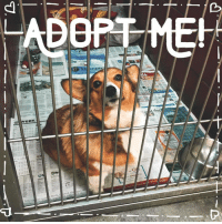 Ariel, Corgi, and Memes: ADOPT MEK  NIL UPDATE: ARIEL HAS BEEN ADOPTED ❤️❤️ Ariel is a 3 year old Corgi who is available for adoption at Noah's Ark!💘💘 This girl is nothing but sweetness. Ariel flops on her back for belly rubs and loves everyone she meets! She was surrendered by her previous owner. She has been in a household around other dogs and cats! Sweet Ariel would make a perfect addition to any household. More info on the adoption process at www.noahsarkanimals.org/adoption-info