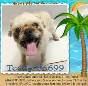 Animals, Desperate, and Dogs: Adopt Mekar Awesomet  Teddy 66699  .. such a little cutie pie, just 8 yrs old, 21 lbs, found  ABANDONED tied to a gate & now waiting for your TLC at the  Brooklyn, NY ACC. Inquire about him now before it is too late! **FOSTER or ADOPTER NEEDED ASAP** Teddy 66699 ... such a little cutie pie, just 8 yrs old, 21 lbs, found ABANDONED tied to a gate & now waiting for your TLC at the Brooklyn, NY ACC. Inquire about him now before it is too late!  ✔Pledge✔Tag✔Share✔FOSTER✔ADOPT✔Save a life!  Teddy 66699  Small Mixed Breed Sex male Age 8 yrs (approx.) - 21 lbs  My health has been checked.  My vaccinations are up to date. My worming is up to date.  I have been micro-chipped.   I am waiting for you at the Brooklyn, NY ACC. Please, Please, Please, save me!  Found Location  Tied to gate on Belmont Avenue BROOKLYN, 11208 Date Found 6/21/2019  **************************************** *** TO FOSTER OR ADOPT ***   If you would like to adopt a NYC ACC dog, and can get to the shelter in person to complete the adoption process, you can contact the shelter directly. We have provided the Brooklyn, Staten Island and Manhattan information below. Adoption hours at these facilities is Noon – 8:00 p.m. (6:30 on weekends)  If you CANNOT get to the shelter in person and you want to FOSTER OR ADOPT a NYC ACC Dog, you can PRIVATE MESSAGE our Must Love Dogs - Saving NYC Dogs page for assistance. PLEASE NOTE: You MUST live in NY, NJ, PA, CT, RI, DE, MD, MA, NH, VT, ME or Northern VA. You will need to fill out applications with a New Hope Rescue Partner to foster or adopt a NYC ACC dog. Transport is available if you live within the prescribed range of states.  Shelter contact information: Phone number (212) 788-4000 Email adopt@nycacc.org  Shelter Addresses: Brooklyn Shelter: 2336 Linden Boulevard Brooklyn, NY 11208 Manhattan Shelter: 326 East 110 St. New York, NY 10029 Staten Island Shelter: 3139 Veterans Road West Staten Island, NY 10309 **************************************  NOTE:  WE HAVE NO OTHER INFORMATION THAN WHAT IS LISTED WITH THIS FLYER.  ************************************** RE: ACC site Just because a dog is not on the ACC site does NOT necessarily mean safe. There are many reasons for this like a hold or an eval has not been conducted yet or the dog is rescue-only... the list goes on... Please, do share & apply to foster/adopt these pups as well until their thread is updated with their most current status. TY! ****************************************** About Must Love Dogs - Saving NYC Dogs: We are a group of advocates (NOT a shelter NOR a rescue group) dedicated to finding loving homes for NYC dogs in desperate need. ALL the dogs on our site need Rescue, Fosters, or Adopters & that ASAP as they are in NYC high-kill shelters. If you cannot foster or adopt, please share them far & wide. Thank you for caring!! <3 ****************************************** RESCUES: * Indicates New Hope Rescue partner is accepting applications for fosters and/or adopters. http://www.nycacc.org/get-involved/new-hope/nhpartners ****************************************** https://www.nycacc.org/adopt/teddy-66699 ++++ http://nycaccpets.shelterbuddy.com/animal/animalDetails.asp?s=adoption&searchTypeId=4&animalType=3%2C16&datelostfoundmonth=6&datelostfoundday=23&datelostfoundyear=2019&tpage=8&find-submitbtn=Find+Animals&pagesize=16&task=view&searchType=4&animalid=100034 ++++ https://nycaccpets.shelterbuddy.com/animal/animalDetails.asp?task=search&advanced=1&rspca_id=66699&animalType=1%2C2%2C15%2C3%2C16%2C15%2C16%2C86%2C79&datelostfoundmonth=5&datelostfoundday=23&datelostfoundyear=2019&find-submitbtn=Find+Animals&tpage=1&searchType=2&animalid=100034 Beamer Maximillian Carolin Hocker Caro Hocker