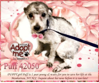Andrew Bogut, Animals, and Desperate: Adopt  Pu A2050  PUPPYqirl Puff is 1 year young e waits for you to save her life at the  Manhattan, NNY ACC. Inquire about her now before it is too late! **Adopter or Foster needed ASAP**  PUPPY girl Puff is 1 year young & waits for you to save her life at the Manhattan, NY ACC. Inquire about her now before it is too late!  ✔Pledge✔Tag✔Share✔Foster✔Adopt✔Save her life!  ****************************************** To FOSTER or ADOPT,  SPEAK UP NOW & Save a Life:  Direct Adopt from the ACC Or Apply with rescues Or Message Must Love Dogs - Saving NYC Dogs for assistance ASAP!!! ****************************************** The general rule is to foster you have to be within 4 hours of the NYC ACC approved New Hope partner rescues you are applying with and to adopt you will have to be in the general NE US area; NY, NJ, CT, PA, DC, MD, DE, NH, RI, MA, VT & ME (some rescues will transport to VA).  =================================  Puff 42050 Small Mixed Breed   Sex female Age 1 yrs (approx.)  My health has been checked.  My vaccinations are up to date. My worming is up to date.  I have been micro-chipped.  I am waiting for you at the Manhattan, NY ACC. Please, Please, Please, save me! ... NOTE: *** WE HAVE NO OTHER INFORMATION THAN WHAT IS LISTED WITH THIS FLYER *** ... RE: ACC site Just because a dog is not on the ACC site does not mean they are safe by any means. There are many reasons for this like a hold or an eval has not been conducted yet or the dog is rescue-only... the list goes on... Please, do share & apply to foster/adopt these pups as well until their thread is updated with their most current status. TY!  ============ Shelter address ========== - Manhattan Shelter: 326 East 110 St. New York, NY 10029  - Phone number: 212-788-4000 (is automated only) Operating hours: Monday through Friday 12.00pm to 8.00pm, Saturday & Sunday: 10.00am to 6.00pm. Closed on all Holidays.. =================================  PLEASE, KEEP IN MIND..
