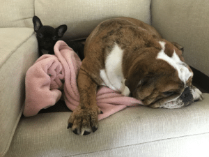 Bulldog, Puppy, and English: Adopted a frenchie puppy, wasn't sure how my english bulldog was going to react... I think she thinks she is it's Mom