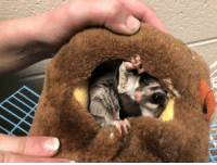 Animals, Boo, and Memes: ADOPTED!!!Peek a boo! Meet Roxie, a 6 year old Sugar Glider. Roxie loves fruits and veggies. Her favorite treat is melon. Sugar Gliders are extremely social animals. They have a natural affinity for pouches, generally loving to curl up in a shirt pocket or in a fabric pouch. Roxie is no exception, as you can see. Pouches designed for sugar gliders are typically available in pet stores. Sugar Gliders make excellent pets for people who take the time to learn about their needs before acquiring them. Come in and meet Roxie. She's staying in our Little Critters Room.