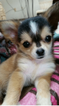 Adorable Chihuahua Puppy!!!! <3: Adorable Chihuahua Puppy!!!! <3