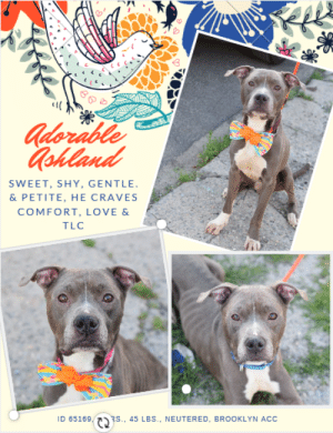 Dogs, Fail, and Hungry: Adorable  Gohland  SWEET, SHY, GENTLE  & PETITE, HE CRAVES  COMFORT, LOVE &  TLC  ID 65169/  RS., 45 LBS., NEUTERED, BROOKLYN ACC INTAKE DATE – 6/7/2019   He's a tiny little man, shy and sweet, who only wants one thing – to be comforted and told that everything will be o.k.  ASHLAND has such a gentle spirit, and he seeks out people who will give him love and attention.  We have to say that looking at his poor body, emaciated and with his ribs protruding, is heartbreaking.  Who systematically starved him, leaving him in such a state?  He is so eager to please despite how hungry he must be, and he tries not to fidget or jump as he waits for his treats.  He often fails, but when he does jump up, it is with hope and a gratefulness that only tugs at your heartstrings even more.  Won't someone take Ashland in?  He is so good, he even lets the volunteers dress him up in a summer bowtie.   He's all dressed up and waiting to leave.  Let's not disappoint him, let's not fail him.  If you can foster or adopt Ashland, Message our page or email us at MustLoveDogsNYC@gmail.com for assistance.  He's neutered and ready to go.  MY MOVIE: Ashland ~ https://youtu.be/nJobwfdnV18   ASHLAND, ID# 65169, 4 yrs old, 45.2 lbs, Neutered Male Brooklyn ACC, Medium Mixed Breed, Gray / White    Owner Surrender Reason:  Shelter Assessment Rating:  LEVEL 3 Medical Behavior Rating:  3. Yellow  ***  TO FOSTER OR ADOPT  ***   If you would like to adopt a NYC ACC dog, and can get to the shelter in person to complete the adoption process, you can contact the shelter directly. We have provided the Brooklyn, Staten Island and Manhattan information below. Adoption hours at these facilities is Noon – 8:00 p.m. (6:30 on weekends)  If you CANNOT get to the shelter in person and you want to FOSTER OR ADOPT a NYC ACC Dog, you can PRIVATE MESSAGE our Must Love Dogs page for assistance. PLEASE NOTE: You MUST live in NY, NJ, PA, CT, RI, DE, MD, MA, NH, VT, ME or Northern VA. You will need to fill out applications with a New Hope Rescue Partner to foster or adopt a NYC ACC dog. Transport is available if you live within the prescribed range of states.  Shelter contact information: Phone number (212) 788-4000 Email adopt@nycacc.org  Shelter Addresses:  Brooklyn Shelter: 2336 Linden Boulevard Brooklyn, NY 11208  Manhattan Shelter: 326 East 110 St. New York, NY 10029  Staten Island Shelter: 3139 Veterans Road West Staten Island, NY 10309  *** NEW NYC ACC RATING SYSTEM ***  Level 1  Dogs with Level 1 determinations are suitable for the majority of homes. These dogs are not displaying concerning behaviors in shelter, and the owner surrender profile (where available) is positive.   Level 2   Dogs with Level 2 determinations will be suitable for adopters with some previous dog experience. They will have displayed behavior in the shelter (or have owner reported behavior) that requires some training, or is simply not suitable for an adopter with minimal experience.   Level 3  Dogs with Level 3 determinations will need to go to homes with experienced adopters, and the ACC strongly suggest that the adopter have prior experience with the challenges described and/or an understanding of the challenge and how to manage it safely in a home environment. In many cases, a trainer will be needed to manage and work on the behaviors safely in a home environment.