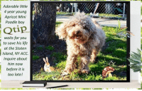 **FOSTER or ADOPTER NEEDED NOW** Adorable little 4 year young Apricot Mini Poodle boy Qtip waits for you to save his life at the Staten Island, NY ACC. Inquire about him now before it is too late!  ✔Pledge✔Tag✔Share✔Foster✔Adopt✔Save a life!  === TO FOSTER or ADOPT ==== To foster or, even better, adopt, direct adopt at the shelter or, to foster, or if you cannot get there in person, apply with rescues. If needed, message Must Love Dogs - Saving NYC Dogs for assistance. Thank you for caring. <3 ... BUT... hurry please, time is short, and the rescues need time to process the applications.  The general rule is to foster you have to be within 4 hours of the NYC ACC approved New Hope partner rescues you are applying with and to adopt you will have to be in the general NE US area; NY, NJ, CT, PA, DC, MD, DE, NH, RI, MA, VT & ME (some rescues will transport to VA). ✔Pledge✔Tag✔Share✔Foster✔Adopt✔Save a life! Thank you for caring! =================================  Qtip 23630 Small Mixed Breed Second Apricot Miniature Poodle  Sex male Age 4 yrs (approx.) My health has been checked. My vaccinations are up to date. My worming is up to date. I have been micro-chipped. I am waiting for you at the Staten Island, NY.  ================================= ... NOTE: *** WE HAVE NO OTHER INFORMATION THAN WHAT IS LISTED WITH THIS FLYER *** ... – please email Adoption@NYCACC.org for additional info - SUBJECT Line: Enter animal ID number and the shelter location - Don't forget to add your email address and phone numbers where they can reach you to your email as well.  ============ Shelter adresses ========== - Brooklyn Shelter: 2336 Linden Boulevard Brooklyn, NY 11208 - Manhattan Shelter: 326 East 110 St. New York, NY 10029 - Staten Island Shelter: 3139 Veterans Road West Staten Island, NY 10309 - Phone number (212) 788-4000 (automated only) Operating hours: Monday through Friday 12.00pm to 8.00pm, Saturday & Sunday: 10.00am to 6.00pm. Closed on all Holidays..  ============ RE: ACC Site =