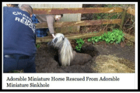 """Meme, Tumblr, and Good: Adorable Miniature Horse Rescued From Adorable  Miniature Sinkhole <p>Now This Is A Good Headline.<br/><a href=""""http://daily-meme.tumblr.com""""><span style=""""color: #0000cd;""""><a href=""""http://daily-meme.tumblr.com/"""">http://daily-meme.tumblr.com/</a></span></a></p>"""
