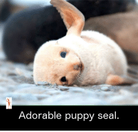 Adorable: Adorable puppy seal