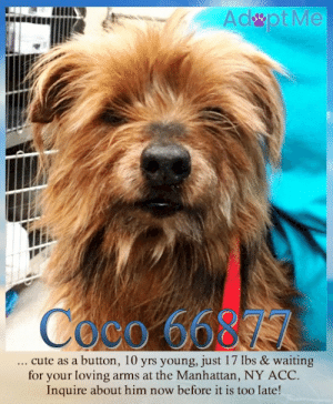 Animals, CoCo, and Cute: Adpt Me  Coco 6689 7  cute as a button, 10 yrs young, just 17 Ibs & waiting  for your loving arms at the Manhattan, NY ACC.  Inquire about him now before it is too late! **FOSTER or ADOPTER NEEDED ASAP** Coco 66877 ... cute as a button, 10 yrs young, just 17 lbs & waiting for your loving arms at the Manhattan, NY ACC. Inquire about him now before it is too late!  ✔Pledge✔Tag✔Share✔FOSTER✔ADOPT✔Save a life!  Coco 66877  Small Mixed Breed Sex male Age 10 yrs (approx.) - 17 lbs  My health has been checked.  My vaccinations are up to date. My worming is up to date.  I have been micro-chipped.   I am waiting for you at the Manhattan, NY ACC. Please, Please, Please, save me!  **************************************** *** TO FOSTER OR ADOPT ***   If you would like to adopt a NYC ACC dog, and can get to the shelter in person to complete the adoption process, you can contact the shelter directly. We have provided the Brooklyn, Staten Island and Manhattan information below. Adoption hours at these facilities is Noon – 8:00 p.m. (6:30 on weekends)  If you CANNOT get to the shelter in person and you want to FOSTER OR ADOPT a NYC ACC Dog, you can PRIVATE MESSAGE our Must Love Dogs - Saving NYC Dogs page for assistance. PLEASE NOTE: You MUST live in NY, NJ, PA, CT, RI, DE, MD, MA, NH, VT, ME or Northern VA. You will need to fill out applications with a New Hope Rescue Partner to foster or adopt a NYC ACC dog. Transport is available if you live within the prescribed range of states.  Shelter contact information: Phone number (212) 788-4000 Email adopt@nycacc.org  Shelter Addresses: Brooklyn Shelter: 2336 Linden Boulevard Brooklyn, NY 11208 Manhattan Shelter: 326 East 110 St. New York, NY 10029 Staten Island Shelter: 3139 Veterans Road West Staten Island, NY 10309 **************************************  NOTE:  WE HAVE NO OTHER INFORMATION THAN WHAT IS LISTED WITH THIS FLYER.  ************************************** RE: ACC site Just because a dog is not on the ACC site does NOT necessarily mean safe. There are many reasons for this like a hold or an eval has not been conducted yet or the dog is rescue-only... the list goes on... Please, do share & apply to foster/adopt these pups as well until their thread is updated with their most current status. TY! ****************************************** About Must Love Dogs - Saving NYC Dogs: We are a group of advocates (NOT a shelter NOR a rescue group) dedicated to finding loving homes for NYC dogs in desperate need. ALL the dogs on our site need Rescue, Fosters, or Adopters & that ASAP as they are in NYC high-kill shelters. If you cannot foster or adopt, please share them far & wide. Thank you for caring!! <3 ****************************************** RESCUES: * Indicates New Hope Rescue partner is accepting applications for fosters and/or adopters. http://www.nycacc.org/get-involved/new-hope/nhpartners ****************************************** https://www.nycacc.org/adopt/coco-66877 ++++ http://nycaccpets.shelterbuddy.com/animal/animalDetails.asp?s=adoption&searchTypeId=4&animalType=3%2C16&datelostfoundmonth=6&datelostfoundday=23&datelostfoundyear=2019&tpage=9&find-submitbtn=Find+Animals&pagesize=16&task=view&searchType=4&animalid=100180 ++++ Beamer Maximillian Carolin Hocker Caro Hocker