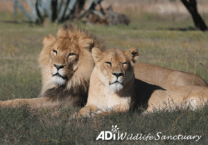 Animals, Click, and Life: ADTWadlife Sanctuary ALL GROWN UP. Brother and sister Scarc and Mahla were saved from a circus in Peru as cubs. Rescued by ADI during a dramatic raid and then reunited with their mum Kiara – who the circus had torn them from – just look at these siblings now! Sharing the huge Tohir habitat at the ADI Wildlife Sanctuary with Kiara P and their aunt Amazonas, Scarc and Mahla are incredibly close and love to relax, and play, together. Their dark past a world away, these fun-loving young lions are happy and well in their forever home. Good for them, and their mum who is watching her babies grow up free to be themselves in a safe, natural environment. It's a life all animals deserve.  Help provide a place of loving kindness for animals in need: https://donate.adiusa.org/sanctuary/  To adopt Scarc or Mahla https://donate.adiusa.org/adoptalion/ (click donate button and then scroll down to select)  For UK donate options click the link at the bottom of the above pages.