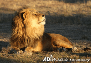 Africa, Beautiful, and Click: ADTWafe Sanctuary GOLDEN BOY. Ojiclaro basks in the last rays of sunshine as another day at the ADI Wildlife Sanctuary draws to a close. Fondly known as OJ, this chilled out boy is never too far from his close pal Iron. The pair rescued from a rusty circus cage, OJ and Iron now get to spend their days in this beautiful, natural habitat. Often found relaxing under the shade of a tree during the hottest part of the day, OJ enjoys the warmth of the late afternoon sun before the cooler temperature - it's currently winter in South Africa - kicks in. He can then retreat to his night house and cozy up with Iron.   Support the ADI Wildlife Sanctuary: https://donate.ad-usa.org/sanctuary/  To adopt OJ https://donate.adiusa.org/adoptalion/ (click donate button and then scroll down to select)  For UK donate options, click the link at the bottom of the above pages
