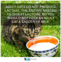 Cats, Memes, and 🤖: ADULT CATS DO NOT PRODUCE  LACTASE, THE ENZYME NEEDED  TO DIGEST LACTOSE, SO YOU  SHOULD NOT FEED AN ADULT  CAT A SAUCER OF MILK.  Postize