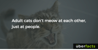 Cats, Facts, and Instagram: Adult cats don't meow at each other,  just at people.  uber  facts https://www.instagram.com/uberfacts/