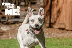 Adventurous Aurora is hoping to bring you a smile on this #TongueOutTuesday! This amazing pup is still awaiting her furever home at Pasado's Safe Haven. You can follow Aurora's adventures and learn more on her very own Instagram page @aurora_the_explorer! #WhynotAurora #WhynotMEpets #adopt Dirtie Dog Photography Healthy Paws Pet Insurance Pet Connection Magazine: Adventurous Aurora is hoping to bring you a smile on this #TongueOutTuesday! This amazing pup is still awaiting her furever home at Pasado's Safe Haven. You can follow Aurora's adventures and learn more on her very own Instagram page @aurora_the_explorer! #WhynotAurora #WhynotMEpets #adopt Dirtie Dog Photography Healthy Paws Pet Insurance Pet Connection Magazine