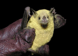 aeon-fux: coolthingoftheday:  Aside from bees and butterflies, bats are one of the most important pollinators on the planet - especially in tropical and desert regions.  (Source)  lost in the sauce : aeon-fux: coolthingoftheday:  Aside from bees and butterflies, bats are one of the most important pollinators on the planet - especially in tropical and desert regions.  (Source)  lost in the sauce