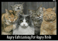 .: af g  Angry Cats Looking For Angry Birds .