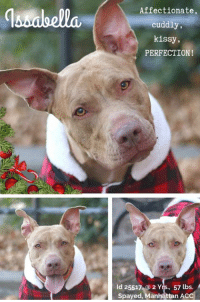 """*** TO BE KILLED - 12/22/2018 ***  Will someone give ME a home for the holidays? I've waited so long! I love people, lived with FOUR children, and I like small dogs too!  She's as sweet as cookie sprinkles! Beautiful, affectionate Issabella is a cuddly, kissy, social lovebug who was adopted in April, then returned in November, for reasons we have yet to learn. We know she is goodness itself, though, so any family would be lucky to have her! If her heart is broken, we won't see it, because she refuses to let her misfortunes taint her love for human beings and for each new day. To have known family life not once, but twice, only to loose it is heartbreaking enough. So let's get her out of there and into a family who will commit to her all her life by the time the holidays arrive. No one would be more adorable under the tree, or in your arms, than her. Hurry and Private Message our page or email us at MustLoveDogsNYC@gmail.com to foster or adopt this amazing girl now.  A volunteer writes:  """"I have lots of names for Issabella. """"Iz,"""" """"Issa,"""" """"Bella,"""" """"Belle."""" But mostly it's """"perfect angel."""" I think the latter is most apt. But Iz, Issa, Bella, perfect angel - whatever you call her she'll wiggle her heart out just at the sight of you. Wiggle so hard it's like her little body can't contain it. And that's just the same as her heart. Iz is a case of being so happy to see a familiar face but heartbroken just the same. I was happy to see her when she was returned after a spring adoption. But sad all the same. And I've been happy to see her every day since while she waits for a home that deserves her. But sad just the same. She is such a wonderful girl. Beautiful, bright, so loving and in need of love it's palpable. Tonight is someone's chance to deserve her. And as sad I'll be to see her go to them, I'll be happy just the same.""""  Another volunteer writes:  """"If you want to see the sunshine, you have to weather the storm. And I can't imagine anyone with whom I'd rather dodge fat"""