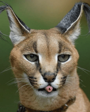 African caracal rolling its tongue.: African caracal rolling its tongue.
