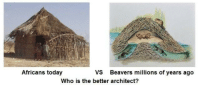 Today, Who, and Beavers: Africans today  VS  Who is the better architect?  Beavers millions of years ago