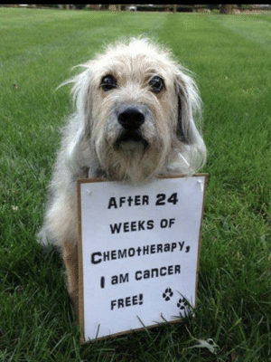 Memes, Tumblr, and Blog: AFtER 24  WEEKS OF  CHEMOtHERaPY,  I aM canCER  FREE! positive-memes:I cant even imagine how happy his/her owner must be.