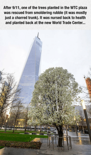 awesomesthesia:  The Epic 'Survivor Tree': After 9/11, one of the trees planted in the WTC plaza  was rescued from smoldering rubble (it was mostly  just a charred trunk). It was nursed back to health  and planted back at the new World Trade Center... awesomesthesia:  The Epic 'Survivor Tree'