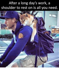Good hooman heckin helpin the shibe: After a long day's work, a  shoulder to rest on is all you need. Good hooman heckin helpin the shibe