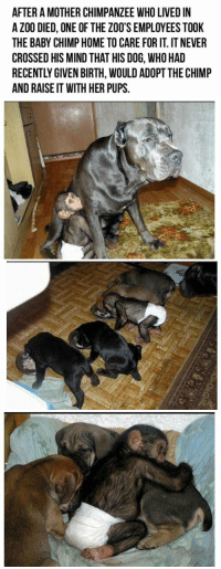This is absolutely amazing... 🐒🐶💕: AFTER A MOTHER CHIMPANZEE WHO LIVED IN  A ZOO DIED, ONE OF THE ZOO'S EMPLOYEES TOOK  THE BABY CHIMP HOME TO CARE FORIT. ITNEVER  CROSSED HIS MIND THAT HIS DOG, WHO HAD  AND RAISEIT WITH HER PUPS. This is absolutely amazing... 🐒🐶💕