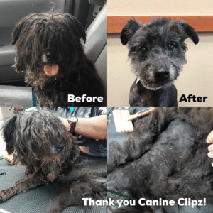 Love, Memes, and Pitbull: After  Before  Thank you Canine Clipz! Our sad little matted tuft of fur is really a dog!!! His new name is Tuft! He is on a ten day stray hold currently in boarding. Thank you for the donated grooming spa day from Canine Clipz. Tuft is really a sweet guy but to know he has been in such misery and pain and so scared for months on his own in the elements breaks our hearts. He is pitbull strong!!   Love, MacWhereIsMySpaDayMom!