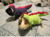 After being given special foods, Guinea Pigs can develop scales and tails.: After being given special foods, Guinea Pigs can develop scales and tails.