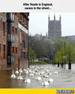 laughoutloud-club:  England Flooding Aftermath: After floods in England,  swans in the street...  THE META PICTURE laughoutloud-club:  England Flooding Aftermath