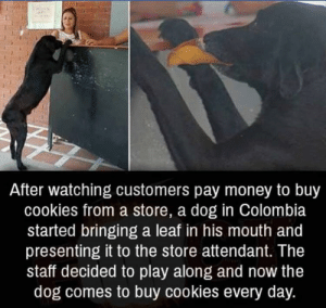 Presenting: After watching customers pay money to buy  cookies from a store, a dog in Colombia  started bringing a leaf in his mouth and  presenting it to the store attendant. The  staff decided to play along and now the  dog comes to buy cookies every day.