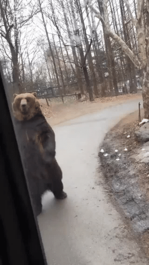 agileo-101:  felidaeng:  scoutology: starchygoodness:  transypansy:  @starchygoodness  How are you going to look at this and tell me bears are real??   this is so fucking funny    @doomsdaybear   : agileo-101:  felidaeng:  scoutology: starchygoodness:  transypansy:  @starchygoodness  How are you going to look at this and tell me bears are real??   this is so fucking funny    @doomsdaybear