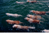 Beautiful, Fish, and Golden Retriever: ahh, the migration of the rare golden retriever fish. What a rare and beautiful sight in nature.