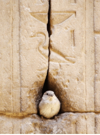 "God, Target, and Tumblr: ainawgsd:  valarhalla:  valarhalla:  boopsandswoops:  lifelessordinary0:    Temple of Horus, Egypt   its horus he's here  Guys no, it gets so much better.  A small fat bird, like the above, is the hieroglyph used in Ancient Egyptian to mean ""wicked"" or evil"". The phrase above him (the inscription should be read from the top down) is ""Nb s3″ or ""Lord of the son of"". Genitive is usually implied in this sort of phrase without a connecting word, meaning: This birb has literally created the sentence and declared himself "" Lord of the Son of Evil""  God dammit, I realised I made a mistake doing this from memory- the first sign is ""k"" for ""your"", not ""nb"" for ""lord"". So this birb has declared himself ""your evil son"", not ""the lord of the son of evil"". Which is not quite as dramatic, but still very menacing. You go bird.  Behold, my evil son. I am so very proud of him."