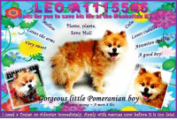 aits for you to save his  please, please,  cuddles  Coves Loves the arms  Save Mell  Attention s  Very sweet  good boy!  orgeous little Pomeranian boy  0 years young mere 8 lbs  I need Poster or Adopter lpmedlately. Apply wlth rescues now before lt ls too late! *** TO BE KILLED 6/19/2017 ***  ** ON the PUBLIC LIST ** RESERVE tiny Leo RIGHT NOW & Save his Life ** Tiny 8 pound Leo is a 10 year old fluffy Pomeranian boy with Diabetes who is calm & just LOVES, LOVES, LOVES to be held. He is social with strangers & relaxed around children with whom he plays gently. He is also housebroken, well-behaved when left alone & walks well on the leash. During intake Leo remained in counselor's arms for majority of intake & when put down he is very calm but puts paws on counselor to pick back up. He allowed all handling for collaring, scanning & photograph & is completely relaxed in counselor's arms. A little sweetheart looking for a new forever home... Please, RESERVE HIM or apply with rescues NOW, before it is too late! Precious little LEO A1115545 DIES at the Manhattan, NY ACC ✔RESERVED✔ Rescued ✔Fostered ✔Adopted RIGHT NOW!!  ✔Pledge✔Tag✔Share✔Foster✔Adopt✔Save a life!  VIDEO: https://www.youtube.com/watch?v=tVZ1ztEjdeo  For a New Family to Know:  Leo has a medium level of energy at home and likes to follow his owners around the home and be in their presence. He is not partial to toys and sleeps in his cage that he has free access to go into as he wishes. He is fed dry food once or twice daily. He uses the bathroom outside well and is behaved when left alone in the house or backyard. He does not know any commands and walks well on the leash. He is not walked without a leash. He is a very good little boy!  ** ON the PUBLIC LIST ** RESERVE him RIGHT NOW & Save his Life via the ACC LINK >http://www.nycacc.org/PublicAtRisk.htm or Message Must Love Dogs - Saving NYC Dogs immediately. SAVE his LIFE RIGHT NOW!!!  ATTENTION:  If you have a spot in your life for this little nugget, ple