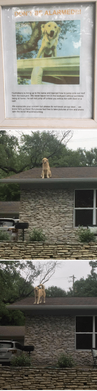 this is the best thing I've seen all week https://t.co/2ccewH3Dqd: ALARMED  Huckleberry is living up to his name and learned how to jump onto our roof  from the backyard. We never leave him in the backyard without someone  being at home. He will not jump off unless you entice him with food or a  ball!  We appreciate your concern but please do not knock on our door... we  know he's up there! But please feel free to take pictures of him and share  with the world! #hucktheroofdog   み this is the best thing I've seen all week https://t.co/2ccewH3Dqd