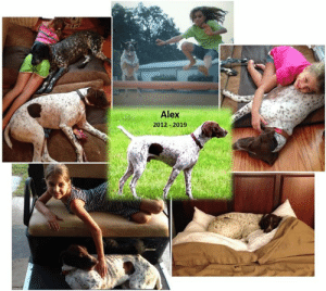 """Fail, Family, and Life: Alex  2012-2019 A sad ending to the day…our 2013 Alumnus Alex has passed away. For several days he had been battling acute renal failure – we don't know the cause. His foster Mom Beth, who later became his forever Mom, picked him up from the Florida shelter weighing only 40 lbs and he was heartworm positive. His family nursed him back to health and he was loved beyond measure for almost 6 years. It wasn't a long life, but it was a good life. A very good life.  From his Mom Beth:  """"Run free Alex. My first foster fail, you stole our hearts on day one. From an emaciated 40 to 60 #, through heart worm treatment and neutering, you brought us such joy. Alex never greeted me without a leaf, twig, or stick and was the happiest dog I have ever known. This family will miss you always.""""  """"Our pets never really leave us. They live on in memories of the love and devotion they gave us."""" Unknown"""