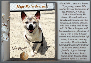 Being Alone, Cats, and Children: Alex 65499... cute as a  button,  Adopt Melm Awesoma  11 yrs young  a mere 9 lbs  waiting for your loving  the Brooklyn, NY ACC.  FOR A New Family To  Know: Alex is described as  arms at  friendly, affectionate, playful,  excitable, & anxious little guy  who loves to play with his toy  ball. He likes to hang out with  his special person, play chase &  tug-a-war, is crate & house  trained, well-behaved when left  alone, & went out running  day. He will initially  bark at strangers but warms up  in his own time & then is  once a  Let's Play!!  friendly. A good little boy  looking for a new, loving  forever home. Inquire about  him now  before it is too late! **FOSTER or ADOPTER NEEDED ASAP** Alex 65499 ... cute as a button, 11 yrs young, a mere 9 lbs, waiting for your loving arms at the Brooklyn, NY ACC. FOR A New Family To Know: Alex is described as friendly, affectionate, playful, excitable, & anxious little guy who loves to play with his toy ball. He likes to hang out with his special person, play chase & tug-a-war, is crate & house trained, well-behaved when left alone, & went out running once a day. He will initially bark at strangers but warms up in his own time & then is friendly. A good little boy looking for a new, loving forever home. Very fearful at the shelter & therefore rescue-only meaning you have to apply with rescues to foster or adopt him. PLEASE, DO!   ✔Pledge✔Tag✔Share✔FOSTER✔ADOPT✔Save a life!  Alex 65499 Small Mixed Breed Sex male Age 11 yrs (approx.) - 9 lbs  My health has been checked.  My vaccinations are up to date. My worming is up to date.  I have been micro-chipped.   I am waiting for you at the Brooklyn, NY ACC. Please, Please, Please, save me!  **************************************** *** TO FOSTER OR ADOPT ***   If you would like to adopt a NYC ACC dog, and can get to the shelter in person to complete the adoption process, you can contact the shelter directly. We have provided the Brooklyn, Staten Island and Manhattan information below. Adoption hours at these facilities is Noon – 8:00 p.m. (6:30 on weekends)  If you CANNOT get to the shelter in person and you want to FOSTER OR ADOPT a NYC ACC Dog, you can PRIVATE MESSAGE our Must Love Dogs - Saving NYC Dogs page for assistance. PLEASE NOTE: You MUST live in NY, NJ, PA, CT, RI, DE, MD, MA, NH, VT, ME or Northern VA. You will need to fill out applications with a New Hope Rescue Partner to foster or adopt a NYC ACC dog. Transport is available if you live within the prescribed range of states.  Shelter contact information: Phone number (212) 788-4000 Email adopt@nycacc.org  Shelter Addresses: Brooklyn Shelter: 2336 Linden Boulevard Brooklyn, NY 11208 Manhattan Shelter: 326 East 110 St. New York, NY 10029 Staten Island Shelter: 3139 Veterans Road West Staten Island, NY 10309 **************************************  NOTE: WE HAVE NO OTHER INFORMATION THAN WHAT IS LISTED WITH THIS FLYER ***  ******************************************  Date of intake: 10-Jun-2019 Summary: Tense body, trembling, very fearful, avoided staff when approached  Basic Information: Alex is an approx 11 year old small white and tan male dog that was surrendered to BACC due to barking too much.  Owner had Alex for 10 years and has not been to the vet recently.  Previously lived with: 2 adults 1 child How is this dog around strangers? Alex will bark at strangers and will warm up on his own time and be friendly. How is this dog around children? Alex has lived with a 2 year old child, he was described as relaxed, respectful, and tolerant of the child. How is this dog around other dogs? Alex has not been around other dogs, it is unknown how he would behave. How is this dog around cats? Alex has not been around cats, it is unknown how he would behave. Resource guarding: Alex will growl and snap if someone tries to move his food, treats, or toys.  Bite history: Alex has no bite history. Housetrained: Yes Other Notes: Alex will growl if moved from the furniture, is not bothered when held or restrained by someone he is familiar with, and he will growl if he is in deep sleep and someone wakes him up. Alex is afraid of being given a bath and is not bothered when his coat is brushed. Alex will snap if someone tries to trim his nails or touch his feet. Alex will bark when someone unfamiliar enters the home and is not bothered when someone unfamiliar approaches the family member.  Energy level/descriptors: Alex is described as friendly, affectionate, playful, excitable and anxious with a high level of energy.  For a New Family to Know Alex is described as friendly, affectionate, playful, excitable, and anxious. Alex loves to play chase and with his toy ball. Alex will follow someone around or be in the same room as them when they are home. Alex will play with balls and squeaky toys. Alex will play chase and tug. Alex has been kept mostly indoors and will sleep on a rug or in his crate. Alex will chew through the bed that the owner offers him. Alex has been fed Pedigree dry food 3-4 times a day. Alex is house trained and will use the potty on any surface outside and on the training pad. Alex is well behaved when left alone in the home. Alex does well in a crate when strangers are not home but when a stranger is, he will bark. Alex responds to his name and to sit but only with a treat. Alex will go out running once a day and does not pull on the leash.   Behavior Notes: Behavior during intake: Alex had a very tense body and he was shaking. Alex would move away from counselor when approached but walked on the leash with no issues.  DOG-DOG: Summary: According to Alex's previous owner, he has not interacted with other dogs while in their care, so it is unknown how he will react. When off leash with dogs at the Care Center, Alex keeps to himself as he wanders in a group of small male and female dogs. He is tolerant of their face to face greetings.  IN SHELTER OBSERVATIONS: When a handler approaches the kennel, Alex is found lying down in his bed. He curls his body tighter when he sees the handler. When the kennel door is opened Alex runs to the back of the kennel and bares his teeth at the handler. Alex snaps and dodges and thrashes his body when the handler attempts to leash him. The handler was able to successfully leash Alex after several failed attempts. He begins to thrash and alligator roll when the leash is secured. Once he is leashed he does not come forward to leave the kennel. After a moment to decompress and the handler moving out of his line of sight, Alex beings to come forward but retreat when another dog in the room barks. When Alex finally leaves the kennel, he initially thrashes and attempts to flee.   Potential challenges: Resource guarding Mouthiness Fearful/potential for defensive aggression  DVM Intake Exam Estimated age: ~11yrs based on O hx. consistent with exam.  Microchip noted on Intake? scanned negative. placed by LVT  Subjective/Objective:  Observed Behavior - BAR. Snarling, snapping, head whipping. Did not allow handling without towel and muzzle. P continuously barking and snapping even with muzzle on. Tense body, kicking during exam.  Evidence of Cruelty seen - none  Evidence of Trauma seen - none  BCS 5/9  EENT: Eyes clear, ears clean, no nasal or ocular discharge noted Oral Exam: dc 2/5; pd 2/5  PLN: No enlargements noted H/L: NMA, CRT < 2, Lungs clear, eupnic -- difficult to auscultate due to growling, snapping, barking  ABD: tense; non painful, no masses palpated U/G: neutered male.  MSI: Ambulatory x 4, skin free of parasites, no masses noted, healthy hair coat CNS: Mentation appropriate - no signs of neurologic abnormalities Rectal: externally normal.   Assessment dental disease   Prognosis: good   Plan: recommend routine daily dental care after placement   SURGERY: neutered  ****************************************** RE: ACC site Just because a dog is not on the ACC site does NOT necessarily mean safe. There are many reasons for this like a hold or an eval has not been conducted yet or the dog is rescue-only... the list goes on... Please, do share & apply to foster/adopt these pups as well until their thread is updated with their most current status. TY! ****************************************** About Must Love Dogs - Saving NYC Dogs: We are a group of advocates (NOT a shelter NOR a rescue group) dedicated to finding loving homes for NYC dogs in desperate need. ALL the dogs on our site need Rescue, Fosters, or Adopters & that ASAP as they are in NYC high-kill shelters. If you cannot foster or adopt, please share them far & wide. Thank you for caring!! <3 ****************************************** RESCUES: * Indicates New Hope Rescue partner is accepting applications for fosters and/or adopters. http://www.nycacc.org/get-involved/new-hope/nhpartners ****************************************** Beamer Maximillian Carolin Hocker Ja Ku Stephanie Stadler Caro Hocker Town and Country Jack Russell Terrier Rescue Inc