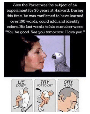 """Mah heart mah soul. by babydoll_bd MORE MEMES: Alex the Parrot was the subject of an  experiment for 30 years at Harvard. During  this time, he was confirmed to have learned  over 100 words, could add, and identify  colors. His last words to his caretaker were:  You be good. See you tomorrow. I love you.""""  LIE  DOWN  TRY  NOT TO CRY  CRY  A LOT Mah heart mah soul. by babydoll_bd MORE MEMES"""