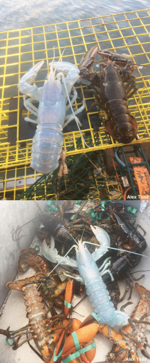 wrecknician:  justnoodlefishthings:  archiemcphee:  The Department of Extraordinary Lobsters is putting on their Giant Lobster Claws to celebrate the discovery of this magical moon lobster, recently caught by fisherman off the coast of Maine. The pearlescent lobster, whose enchanting coloring is most likely the result of leucism, was thrown back into the sea after the fisherman discovered she was a lady lobster. [via The Mary Sue]   Department of Extraordinary Lobsters    Holographic Special Edition Lobster : Alex Todd   Alex Todd wrecknician:  justnoodlefishthings:  archiemcphee:  The Department of Extraordinary Lobsters is putting on their Giant Lobster Claws to celebrate the discovery of this magical moon lobster, recently caught by fisherman off the coast of Maine. The pearlescent lobster, whose enchanting coloring is most likely the result of leucism, was thrown back into the sea after the fisherman discovered she was a lady lobster. [via The Mary Sue]   Department of Extraordinary Lobsters    Holographic Special Edition Lobster