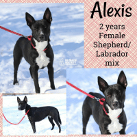 Dogs, Memes, and Puppies: Alexis  2 years  Female  Shepherd?  Labrador  mix  HUMANE  SOCIETY All dogs/puppies in our shelter can be viewed here.  Any dog not being held as a stray is available for immediate, same-day adoption! Adoption applications are reviewed on site. Please share our dogs and help get them out of the shelter as quickly as possible!  **PLEASE NOTE**  Placing an application on a dog featured in this album does NOT hold the dog for you.  All available dogs are available to be met and adopted same day if already altered.  If not altered, the dog can be met and paid for in order to hold the dog for you.  Thank you for your understanding!