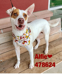 Dogs, Food, and Memes: Alfie  478624 Email Placement@sanantoniopetsalive.org if you are interested in Adopting, Fostering, or Rescuing!  Our shelter is open from 11AM-7PM Mon -Fri, 11AM-5PM Sat and Sun.  Urgent Pets are at Animal Care Services/151 Campus. SAPA! is Only in Bldg 1 GO TO SAPA BLDG 1 & bring the Pet's ID! Address: 4710 Hwy. 151 San Antonio, Texas 78227 (Next Door to the San Antonio Food Bank on 151 Access Road)  **All Safe Dogs can be found in our Safe Album!** ---------------------------------------------------------------------------------------------------------- **SHORT TERM FOSTERS ARE NEEDED TO SAVE LIVES- email placement@sanantoniopetsalive.org if you are interested in being a temporary foster!!**