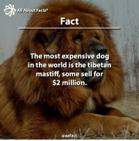 Memes, Lion, and Lions: All About Facts  Fact  The most expensive dog  in the world is the tibetan  mastiff, some sell for  $2 million.  @aafact Just like lions!!! 🦁 Follow us: @aafact 😄 tibetanmastiff tibetan mastiff dog dogs pet pets animals amazing expensive mostexpensive lion lions roar fact facts follow amazing interesting