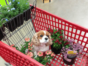 all-dog-breeds:  Izzy helping me shop : all-dog-breeds:  Izzy helping me shop
