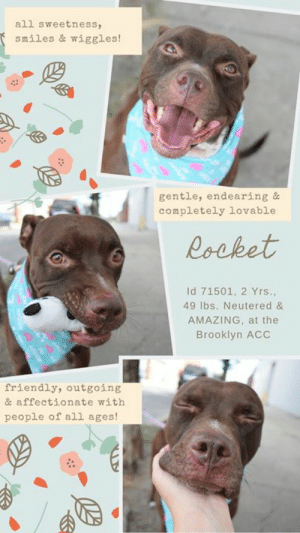 """INTAKE DATE – 8/4/2019   <3  FRIENDLY, AFFECTIONATE, LOW KEY AND AMAZING!  ROCKET LOVES PEOPLE OF EVERY AGE – A STAFF AND VOLUNTEER FAVORITE!  A volunteer writes:  """"This chocolate-colored pup is as sweet and gentle as he is beautiful! Rocket is very friendly and affectionate in a soft, low-key way. When I pet him, he calmly stands next to me with a cute doggie grin and his tail slowly wagging back and forth. When I stop, he does this sort of low head-bow and looks at me with a face so endearing that I just have to resume the petting. (Wait...who's training who here?). Rocket knows the cue for """"sit"""", seems housebroken, and walked nicely on a leash. His previous family tells us he was relaxed and friendly with children of all ages, and that he got along great with the dog he used to live with. Rocket is such a beautiful boy on both the inside and out, and is so easy to fall in love with...so come and meet him today at the Brooklyn ACC shelter where he's patiently awaiting his fur-ever home!""""   Hurry and message our page or email us at MustLoveDogsNYC@gmail.com for assistance fostering or adopting this darling boy.  MY MOVIE:  Rocket 🚀 71501  https://youtu.be/4B28jmbxpZg   ROCKET, ID# 71501, 2 yrs old, 49 lbs, Neutered Male Brooklyn ACC, Large Mixed Breed, Chocolate / White    Surrender Reason:  Stray with known history  Shelter Assessment Rating: LEVEL 2 No young children (under 5) Medical Behavior Rating: Blue   INTAKE PROFILE - BASIC INFORMATION: Rocket is a brown and white male dog that was surrendered to the ACC as a stray. When meeting the staff at the ACC for the first time he was friendly and outgoing. Rocket was reported as being relaxed and friendly with children all ages. Rocket is friendly and outgoing with other large dogs and Puppy's. The owner stated that if Rocket is approached by a dog reactive dog he will become reactive.     INTAKE NOTES – DATE OF INTAKE, 08-04-2019: During intake Rocket had a loose body and was wagging his tail. He allowed the staff"""