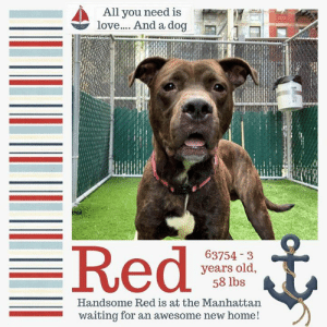 """Bad, Click, and Cute: All you need is  love.... And a dog  63754-3  years old,  58 lbs  Handsome Red is at the Manhattan  waiting for an awesome new home! TO BE KILLED 6/11/19  """"I'M SCARED BUT CAN YOU BLAME ME?"""" Red doesn't know where he is and he isn't familiar with any of the faces or scents at his temporary new home. The only scent he's certain of is fear and it isn't only him. It's all of the other dogs around him too. Like most dogs, Red is a pretty smart dude and he knows something isn't right at this place and he's hoping to get out of there before something really bad happens. He's trying to do his best but he's a little scared. Thank dawg for the awesome volunteers who managed to get a cute pic of him to get his story out there so other dog lovers will know his plight. Right now, Red is out of time and he desperately needs one of those dog lovers to consider helping him out. One whose experienced and dedicated so Red can have the time he needs to re-acclimate and understand that the bad times are behind him. Please help share this handsome brindle boy before it's too late.   A shelter member writes - I am Red, Violets are blue, I need a home, can it be with you? Okay okay, I may not be much of a poet, but I'll try out anything to make friends! I love people and everything about them - cuddling, petting, treats, more cuddling... you get the idea. My ideal home would be somewhere I can be your one and only, waking up and taking quiet walks together before snuggling up for a night of Netflix. If that sounds good to you, why not come meet me at the Manhattan ACC? If you bring the treats, I'll bring the kisses!  RED@MANHATTAN ACC Red ID# 63754  Sex: Male Age: 3 years old Length: Short Is Vaccinated: Yes Coat Type: Smooth Primary Color: Brown Brindle Secondary Color: White Shelter Assessment Rating: LEVEL 2 Single-pet home, Recommend no dog parks Medical Behavior Rating: Green  Weight: 58.6 lbs. Intake Date: 05-24-2019  I came into the shelter as a agency on 24-M"""
