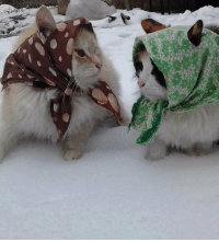 alliearts:  mynameisdevon:  submariet:  lntruding:  soviet russian grandma cats complaining about their grandchildren and swapping recipes  THEY HAVE EAR HOLES let me die  BABUSHKATS   babushkats. : alliearts:  mynameisdevon:  submariet:  lntruding:  soviet russian grandma cats complaining about their grandchildren and swapping recipes  THEY HAVE EAR HOLES let me die  BABUSHKATS   babushkats.