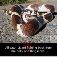 Never give up..  Photo Credit : Bryan Snyder: Alligator Lizard fighting back from  the belly of a Kingsnake.  ib.com/factsweird Never give up..  Photo Credit : Bryan Snyder